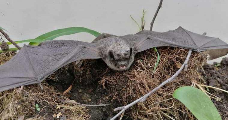 где в России обитают летучие мыши коронавирусы