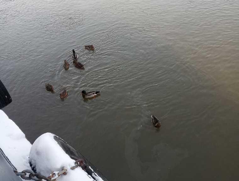 Жители Тюменской области спасают замерзающих уток и лебедей. Фото