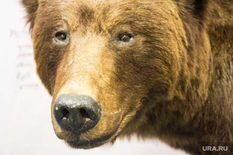 в Пермском крае мужчина пострадал от нападения медведя